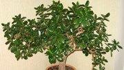 Денежное дерево (Толстянка,  Крассула) разных размеров